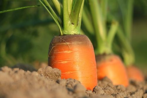 Bio Corn engraos organique azoté